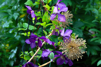 Clematis-Allium-Combination